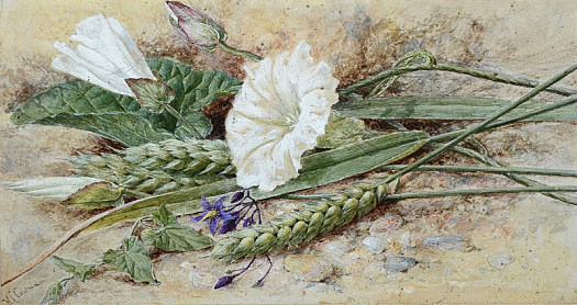 Wheat and Convolvulus