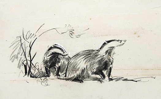 Two badgers fetching some bedding