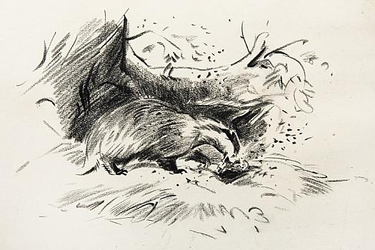 Badger digging out a rabbit's nest