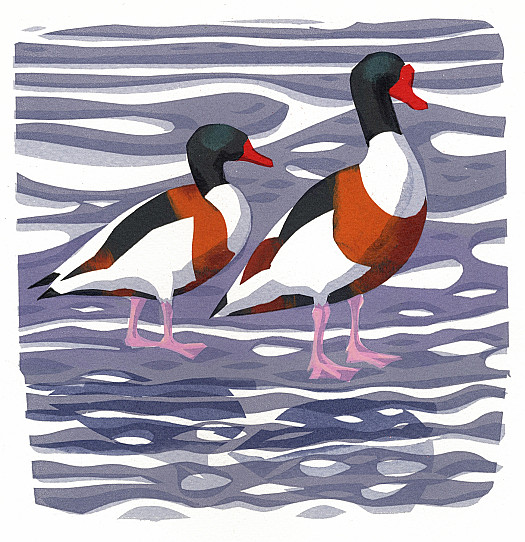The Shelduck