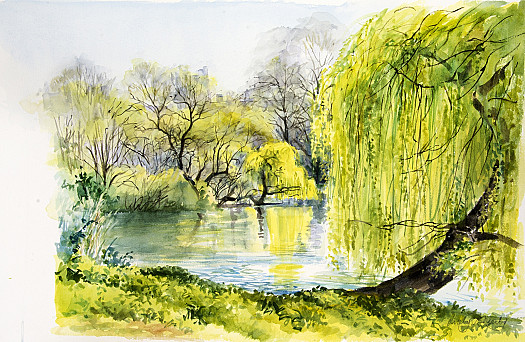 Willow, St James's Park