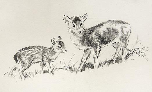A muntjac doe and her fawn
