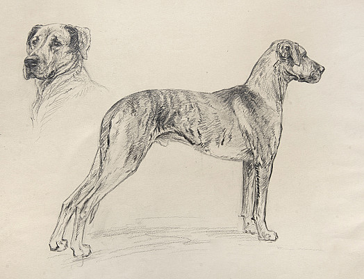 A Tiger-Brindled Great Dane