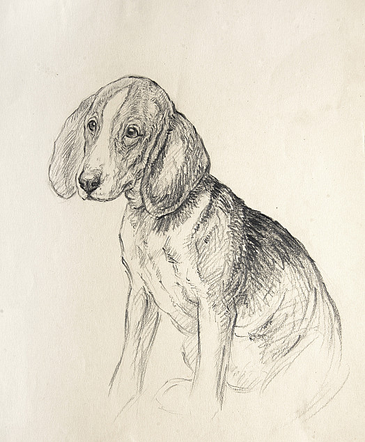 Callow Youth. Beagle Puppy