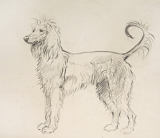 A Trifle Outlandish. Afghan Hound