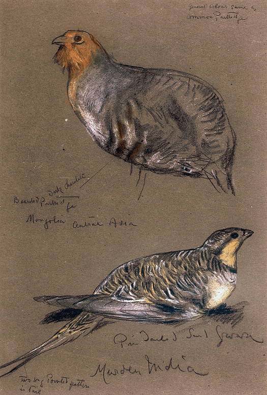 Bearded PartridgePin-Tailed Grouse