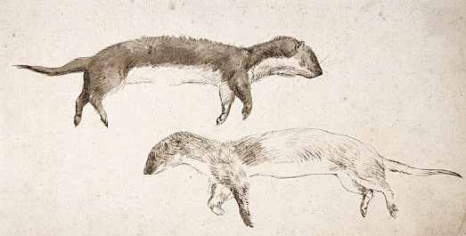 Studies of a Dead Stoat